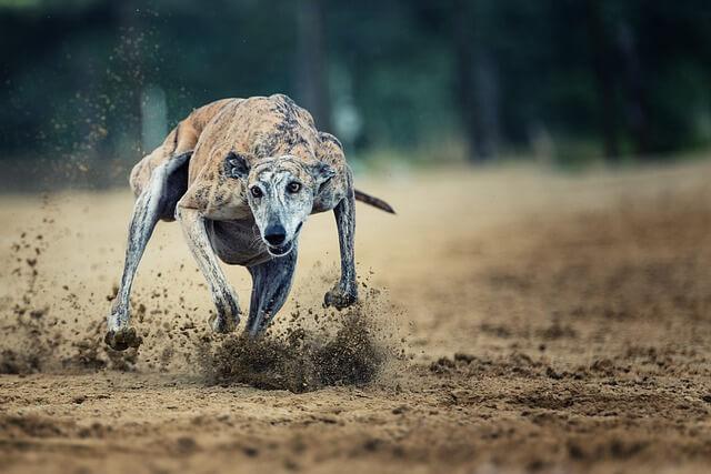 Race: Greyhound