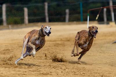 Greyhound væddeløb