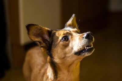 Hund der udfører tricks