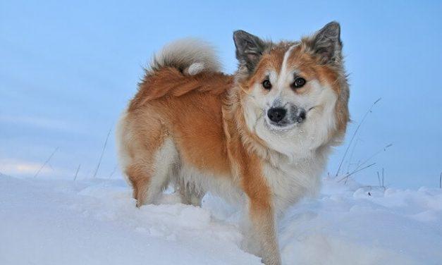 Islandsk fårehund – Den robuste hyrdehund
