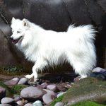 Japansk spids – Den snehvide hund