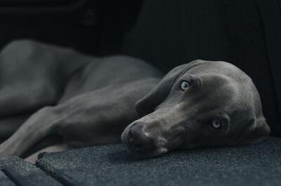 Hund der hviler sig