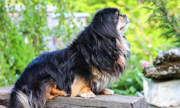 Tibetansk Spaniel – Den gamle ærmehund