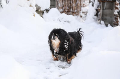 Tibetansk spaniel i sneen