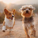 Pasgang og trav – Hundens gangarter
