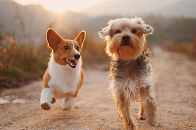 Hunde der løber