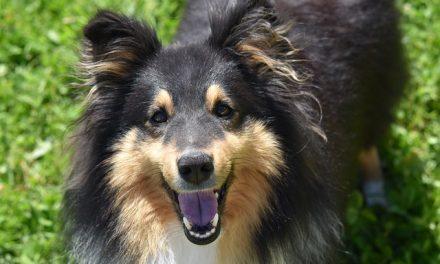 Stimulering af hund Quiz – Hvor meget ved du?