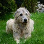 Irsk ulvehund – Den gamle ulvejæger
