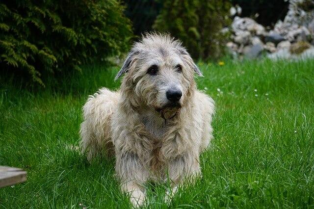 Race: Irsk ulvehund