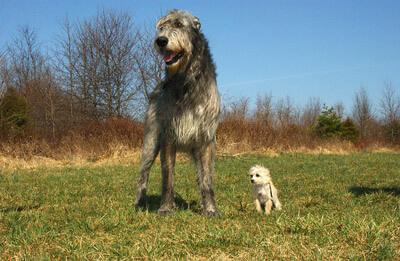 Irsk ulvehund vs. lille hund