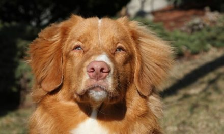 Nova Scotia Duck Tolling Retriever – Den aktive Toller
