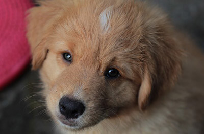 Nova Scotia Duck Tolling Retriever hvalp